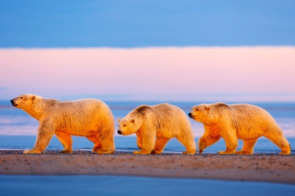Beautiful Pictures As Polar Bear And Cubs Enjoy Sunset In