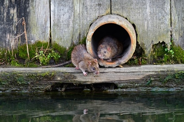 killer super rats are spreading through Britain