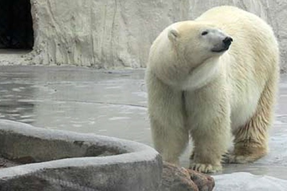 Yupi polar bear Yorkshire wildlife park to rescue polar bear from Mexico zoo