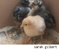 warning baby chicks ground alive so we can eat our omelets aol news