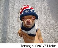 Chihuahua with flag hat
