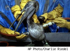 a Brown Pelican gets BP oil washed off