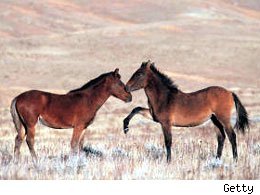 13 horses die in Nevada roundup ordered by government