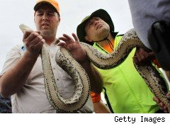 burmese python, Florida, invasive species, pets released