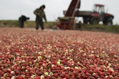 Cranberry Harvest Less Bountiful than Expected