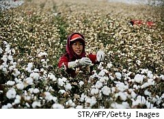 woman picking cotton