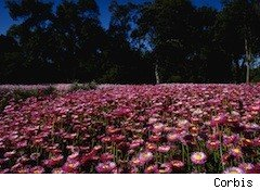 western australia wildflowers - free flights to australia
