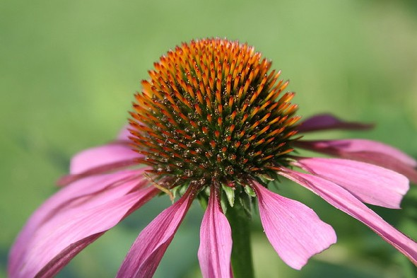 Can echinacea help relieve cold symptoms?