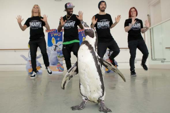 Launch of Happy Feet 2 on DVD with REAL LIFE penguins