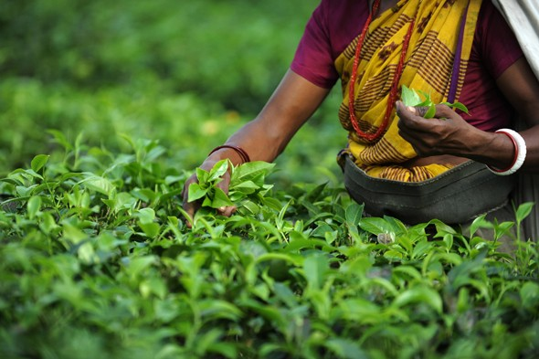 How to make a perfect cup of tea (and other fascinating tea facts)