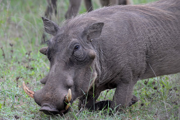 Strop of the Week: Cry of the warthog