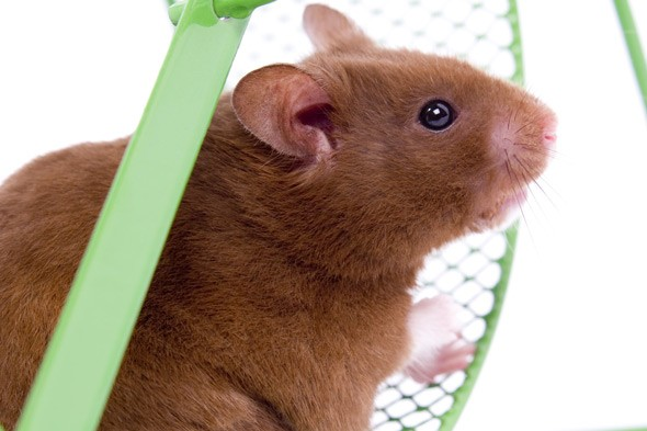 Ten-year-old entrepreneur launches country's first hamster hotel