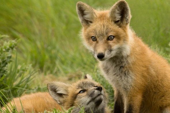 Dad's horror as fox crept towards sleeping baby's bedroom