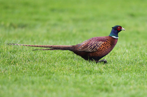Pheasant who lives in grounds of school could end up on headmaster's festive dinner plate