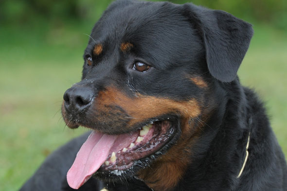Boy of nine rescued after being left home alone with Rottweiler