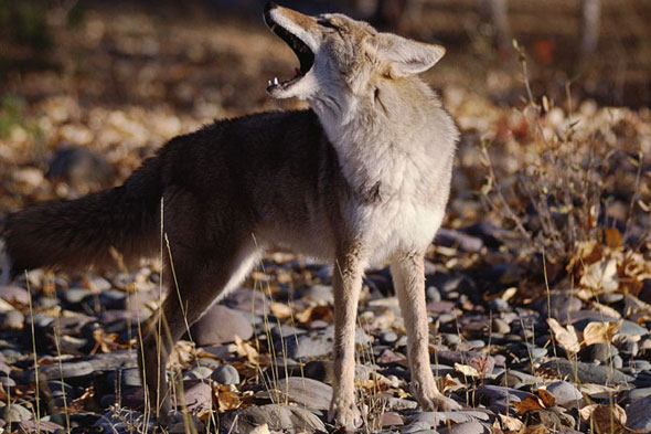 Two-year-old girl attacked by coyote during cemetery visit