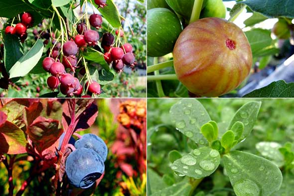 Beau 10 Ornamental And Edible Garden Plants. MyDaily Staff MyDaily UK. Berry And  Figs