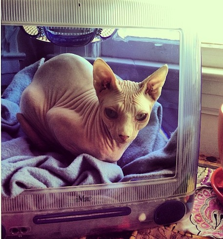Caturday iMac beds and hairless heads